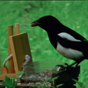 """La pie est gourmande elle a des petits au nid. """"Giving Nature a Home"""" dernier film de Marcel Thonnon"""