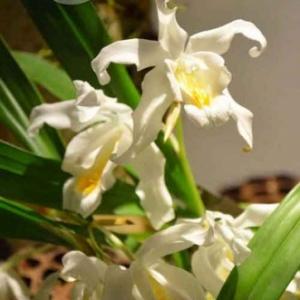 orchidee-5360