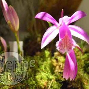 orchidee-5367