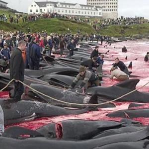 Massacre de Calderon un dauphin des iles de Feroe au Danemark