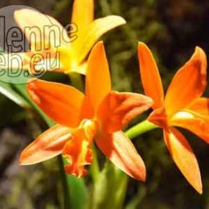 orchidee-5368