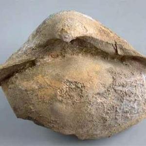 03.Stringocephalus Burtini