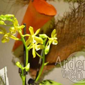 orchidee-5369