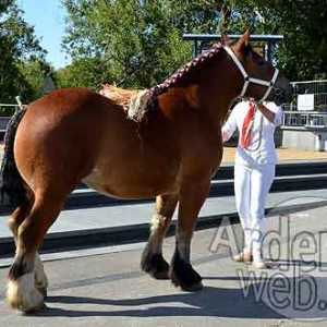 Cheval de trait ardennais-513