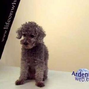 le plus beau chien du monde - video 04