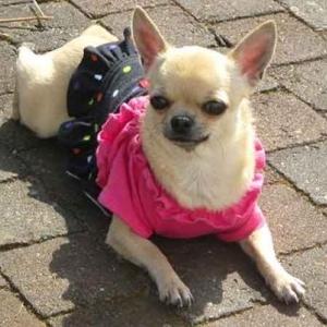 Chanel (notre gagnante du mois de mars ) - le petit Chihuahua de Iolanda Signoriello de Ittre