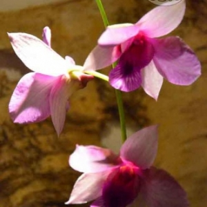 orchidee-5361