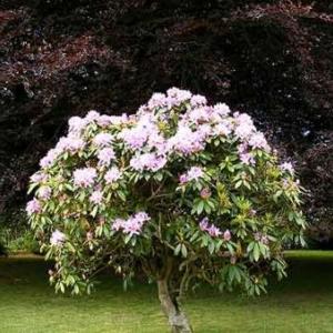 Un magnolia, qu'on planta le 11 mars 1978