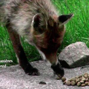 """Le renard a de bonnes manières dans le film """"Giving Nature a Home"""" dernier film de Marcel Thonnon"""