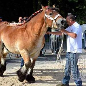 Cheval de trait ardennais-488