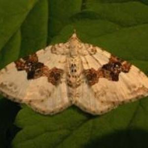 Découverte des  papillons nocturnes »  Le  vendredi 9 mai 2008, à 19h30 au Moulin  Klepper, à Neufchâteau