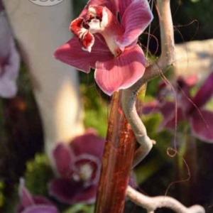 orchidee-5406