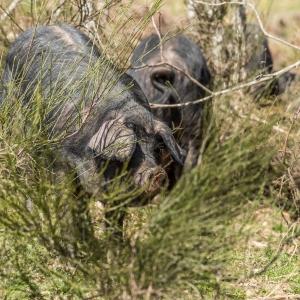 Le cochon gascon : un délice d'initiés