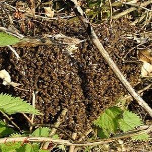 essaim,abeille