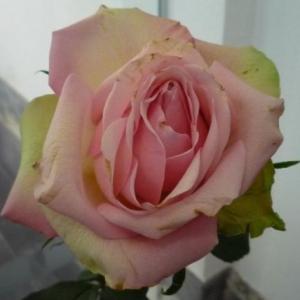 Une rose bien reelle ornant la salle d'exposition