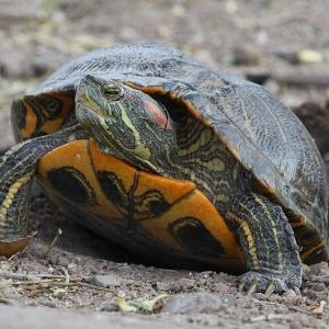 17 La tortue de Floride