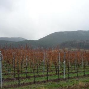 Vignobles du Palatinat sur fond du massif de la Haardt