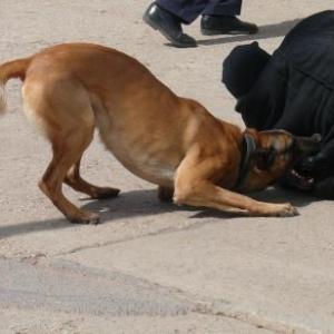 Le chien immobilise sa proie ( Zone de Police Stavelot -Malmedy )