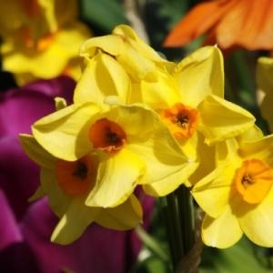 Les printemps  colorés de Keukenhof