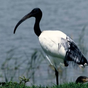 6 L'ibis sacré