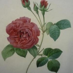 PJ Redoute Rose Helene