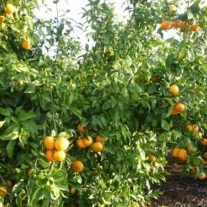 Au pays des mandarines