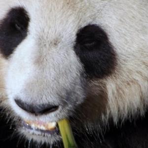 France                    Un zoo français accueille deux pandas géants.