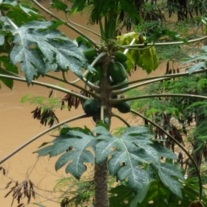 Cocotier en bordure du Rio Vermelho