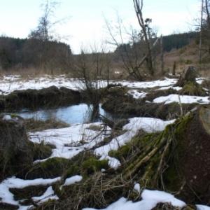 Enlevement de chablis de resineux tombes en travers du lit du Glain pres de Bovigny / Gouvy (DST Province Luxembourg)