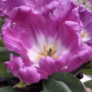 "la ""Tulipa CATHAY """