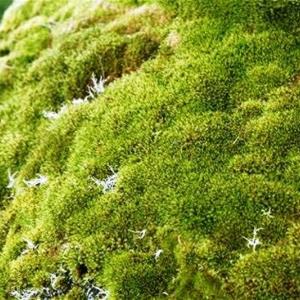 La mousse ( Bryophyta )