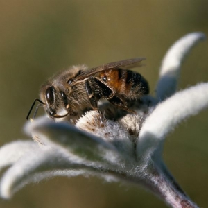 Cette abeille noire de Savoie, surprise en train de butiner un edelweiss dans le Parc national de la Vanoise, est la digne héritière de ces ancêtres. Elle est particulièrement adaptée à des hivers froids et longs et à la végétation qu'elle rencontre en montagne. © Parc national de la Vanoise – Ludovic Imberdis