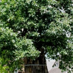 Les arbres remarquables à Sart-lez-Spa
