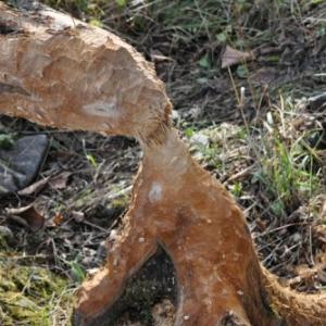 Lierneux. Colloque sur le castor. (4)
