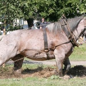 Fete du cheval de trait, Hargnies