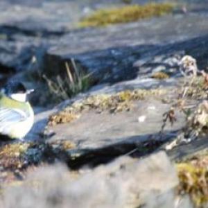La mesange commune, photo 35