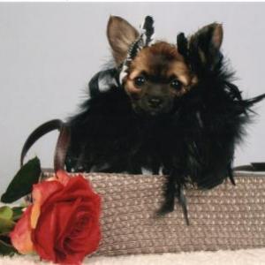 Kiara ,le petit chihuahua de Celine
