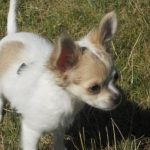 CHICA, la petite chihuahua de Nicole Gresse de Saint Paul en Foret