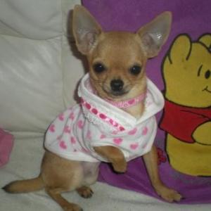 Lola ,le chihuahua de Gwenaelle