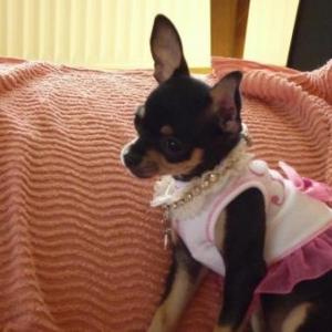 Evita presente son joli collier Forpetsonly et sa petit robe tutu