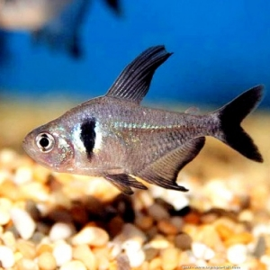 Tetra Fantome - hyphessobrycon megalopterus  2,35 euros