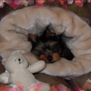 Florine ,l'adorable et adoree petite yorkshire de Christian et Michele de Charleville Maiziere