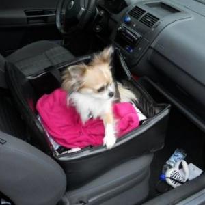 Lucky ,le petit chihuahua de Julie Renquin dans son siege auto ,maintenant il voit tout !