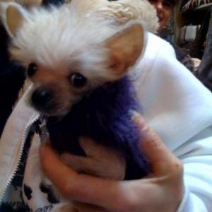 chiot chien nu avec son petit pull zazu