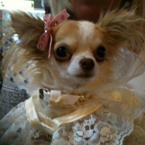 Lola ,le chihuahua de christelle theys de Sambreville