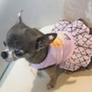 chiwa avec sa nouvelle robe barbie
