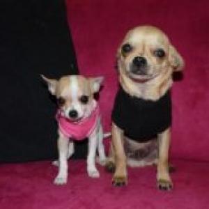 Tekila et Hercule ,les petits chihuahua de Corinne Lapaille de Montignies sur Sambre