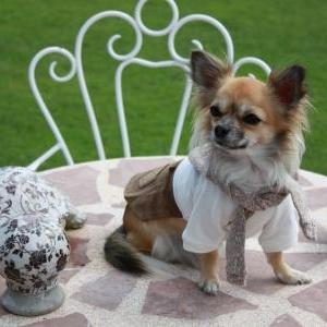 Lily ,le petit chihuahua de Justine Deschamps de Hotton habillee en Puppy Angel