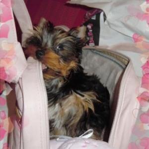 Florine ,l'adorable et adoree petite yorkshire de Christian et Michele de Charleville Maiziree
