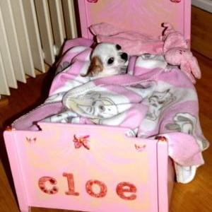 Cloe la petite femelle chihuahua de Francoise et Alain de Gembloux